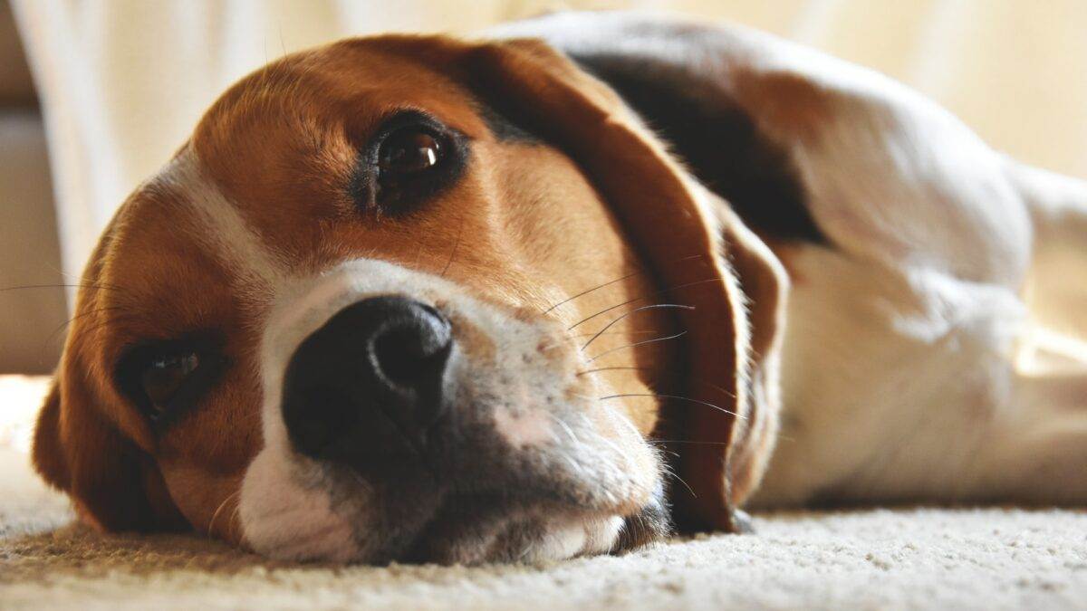 Carpet Care for Pet Owners